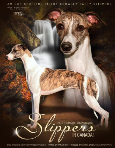 AKC GCH/CKC CH Sporting Field's Party Slippers New Canadian Champion her first weekend showing