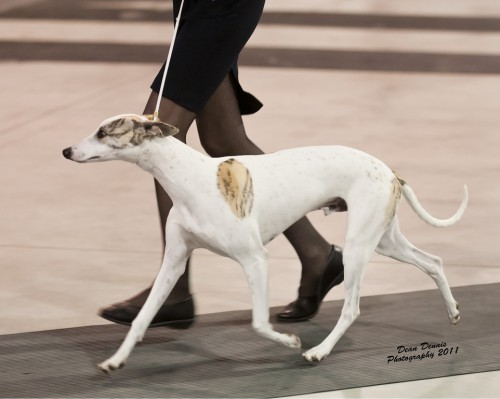"CH Wenrick's Rebel Without A Cause ""James Dean"" At his first show he brought home 5 Best Puppy In Group wins! (6 months old here)"