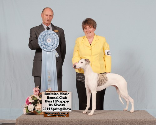 """Nevin"" 6 Months old at his very first show won BEST PUPPY IN SHOW"" with his owner Nancy Davie. Nevin won Best of Breed and a group 2nd. Currently he is only one point away from his championship! We are so proud of both of them! (CH DRAGONSONG'S DOMINO x CH SHETARA'S HARVEST MOON )"