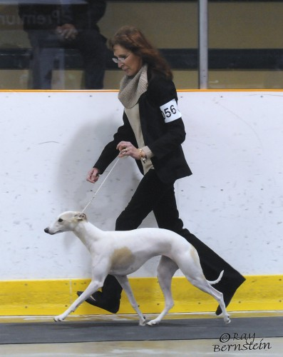 """Ch Shetara's A Star Is Born """"Nova"""" (Ch Dragonsong's Who's That Girl x Ch Wenrick's Rebel Without A Cause)"""