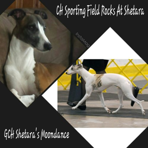 Grand Champion Shetara's Moondance and Champion Sporting Field Rocks At Shetara