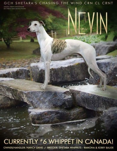 """Nevin"" GCH SHETARA'S CHASING THE WIND CRN CL CRNT Nevin and his owner handler Nancy Davie finished #8 Whippet in Canada!"